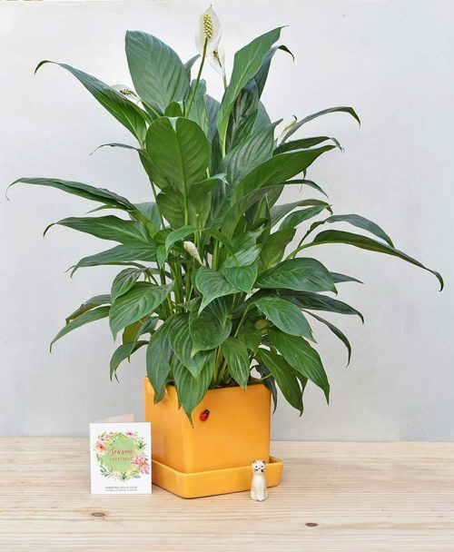 Ceramic Cube Pot Mustard Yellow with Exotic Peace Lily - Spathiphyllum