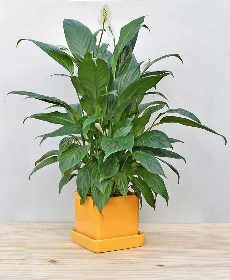 Ceramic Cube Pot Mustard Yellow with Exotic Peace Lily - Spathiphyllum 2