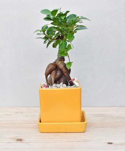Ceramic Cube Pot Mustard Yellow with Ficus Microcarpa Bonsai 1