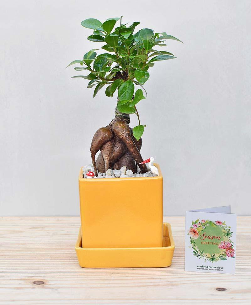 Ceramic Cube Pot Mustard Yellow with Ficus Microcarpa Bonsai