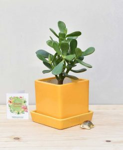Ceramic Cube Pot Mustard Yellow with Jade Plant Fatty Leaves