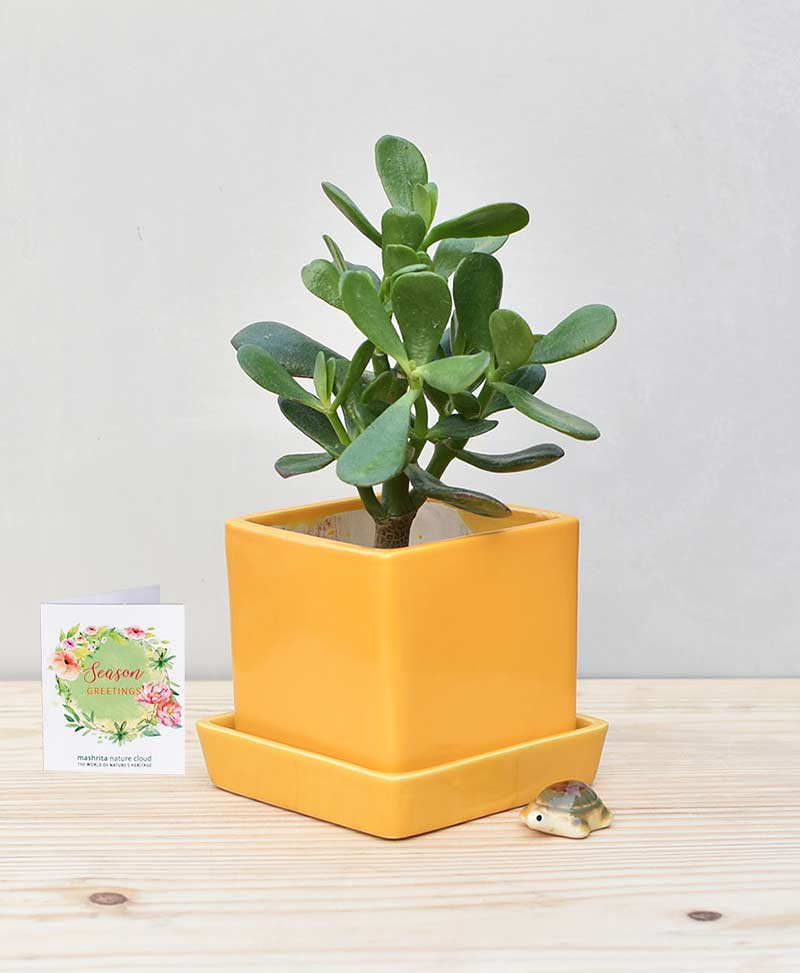 Ceramic Cube Pot Mustard Yellow with Jade Plant Fatty Leaves – Crassula