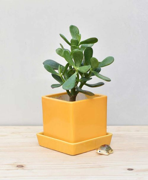 Ceramic Cube Pot Mustard Yellow with Jade Plant Fatty Leaves 2