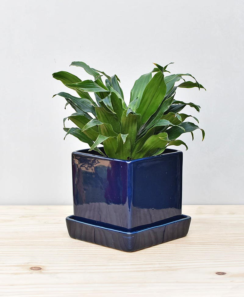 Ceramic Cube Pot Navy Blue with Exotic Draceana Compacta