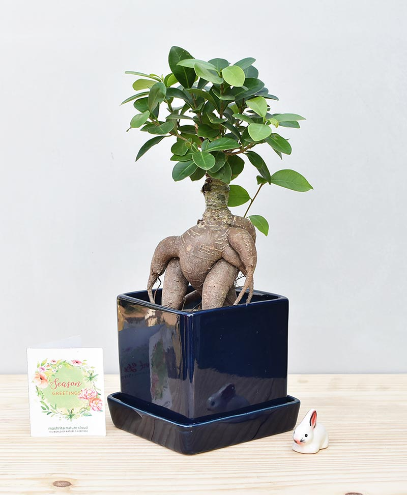 Ceramic Cube Pot Navy Blue with Exotic Ficus Ginseng – Ficus Microcarpa