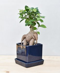 Ceramic Cube Pot Navy Blue with Exotic Ficus Ginseng – Ficus Microcarpa 2