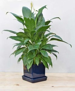 Ceramic Cube Pot Navy Blue with Exotic Peace Lily - Spathiphyllum 2