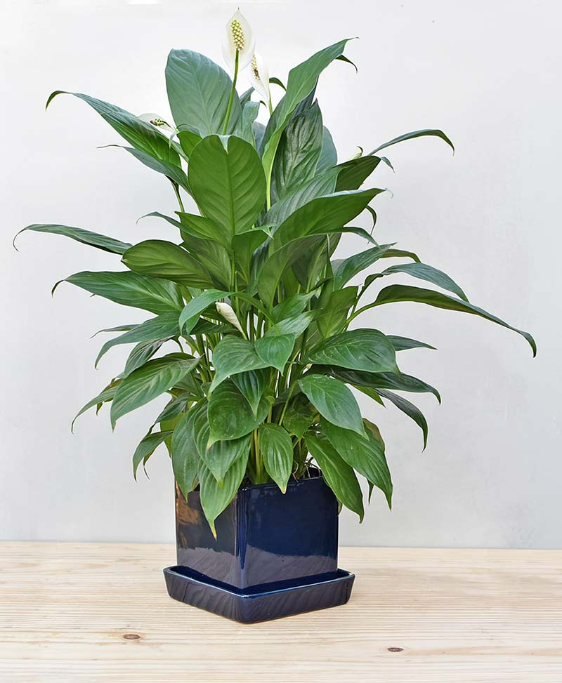 Ceramic Cube Pot Navy Blue with Exotic Peace Lily - Spathiphyllum
