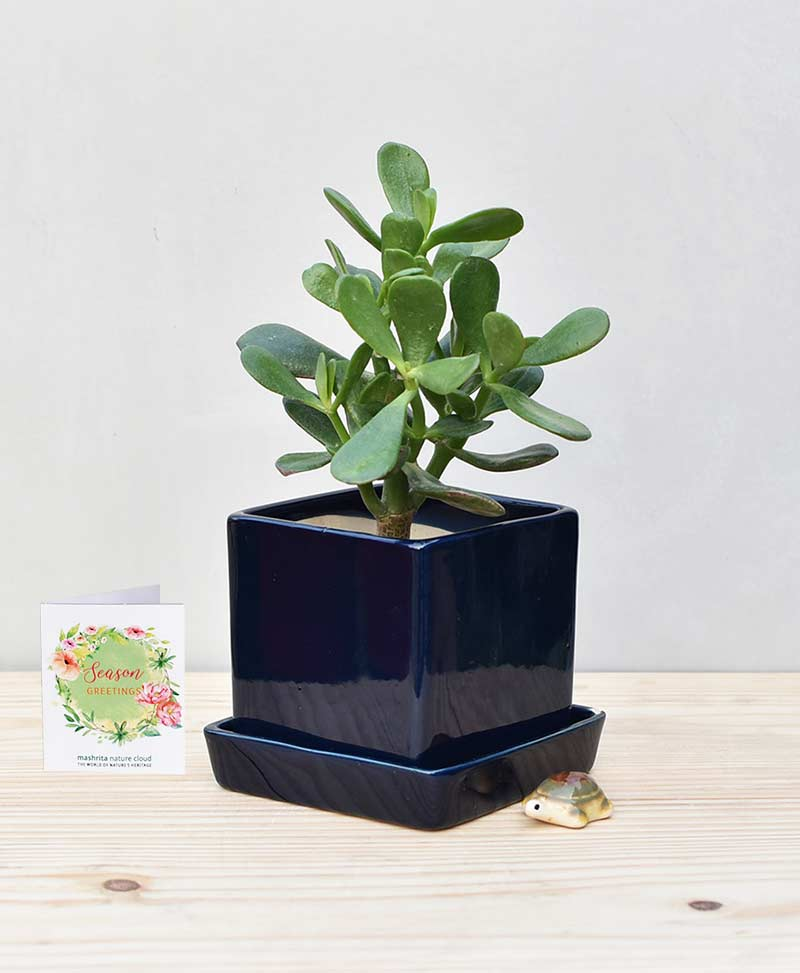 Ceramic Cube Pot Navy Blue with Jade Plant Fatty Leaves