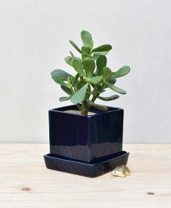 Ceramic Cube Pot Navy Blue with Jade Plant Fatty Leaves 2