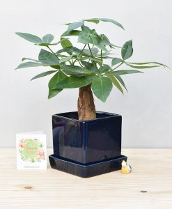 Ceramic Cube Pot Navy Bluew with Exotic Money Tree – Pachira Aquatica