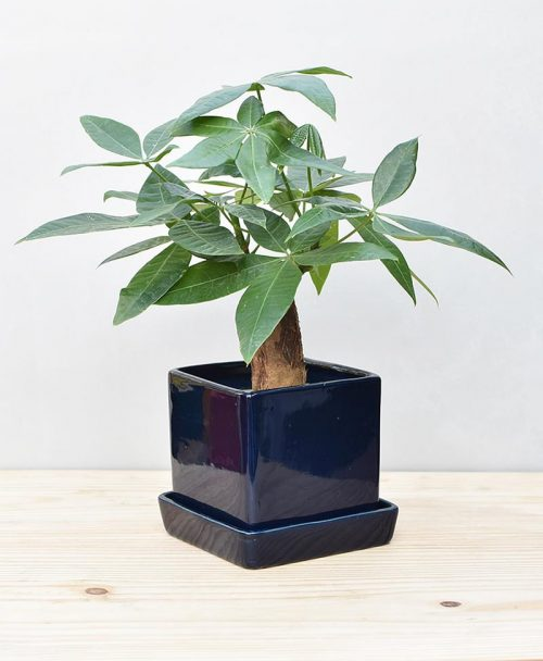 Ceramic Cube Pot Navy Bluew with Exotic Money Tree – Pachira Aquatica 2