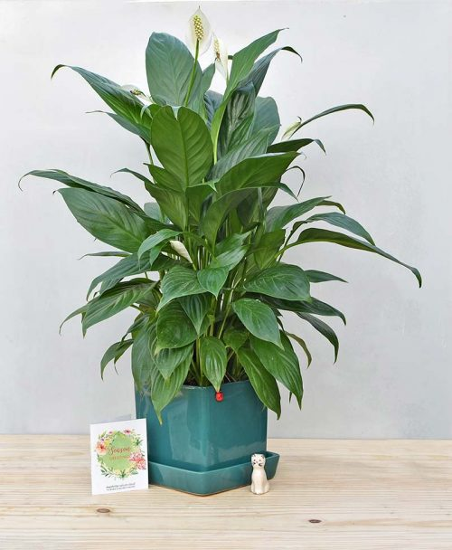 Ceramic Cube Pot Peacock Blue with Exotic Peace Lily - Spathiphyllum