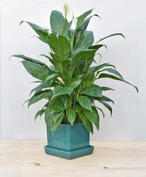 Ceramic Cube Pot Peacock Blue with Exotic Peace Lily - Spathiphyllum 2