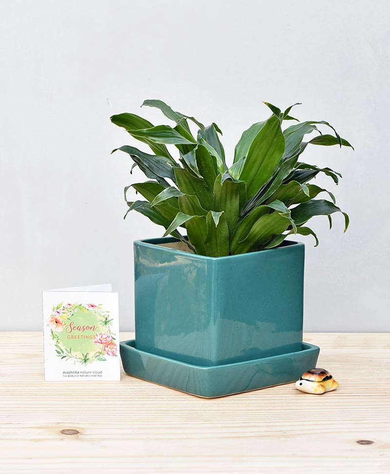Shop Best Gift Plants Online Gurgaon Delhi Noida