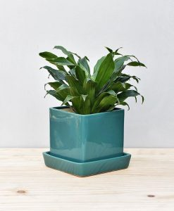 Ceramic Cube Pot Peacock Green with Exotic Draceana Compacta 2