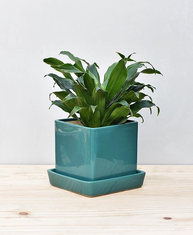 Ceramic Cube Pot Peacock Green with Exotic Draceana Compacta