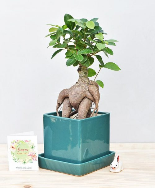 Ceramic Cube Pot Peacock Green with Exotic Ficus Ginseng – Ficus Microcarpa