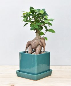Ceramic Cube Pot Peacock Green with Exotic Ficus Ginseng – Ficus Microcarpa 2