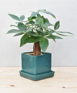 Ceramic Cube Pot Peacock Green with Exotic Money Tree – Pachira Aquatica 2