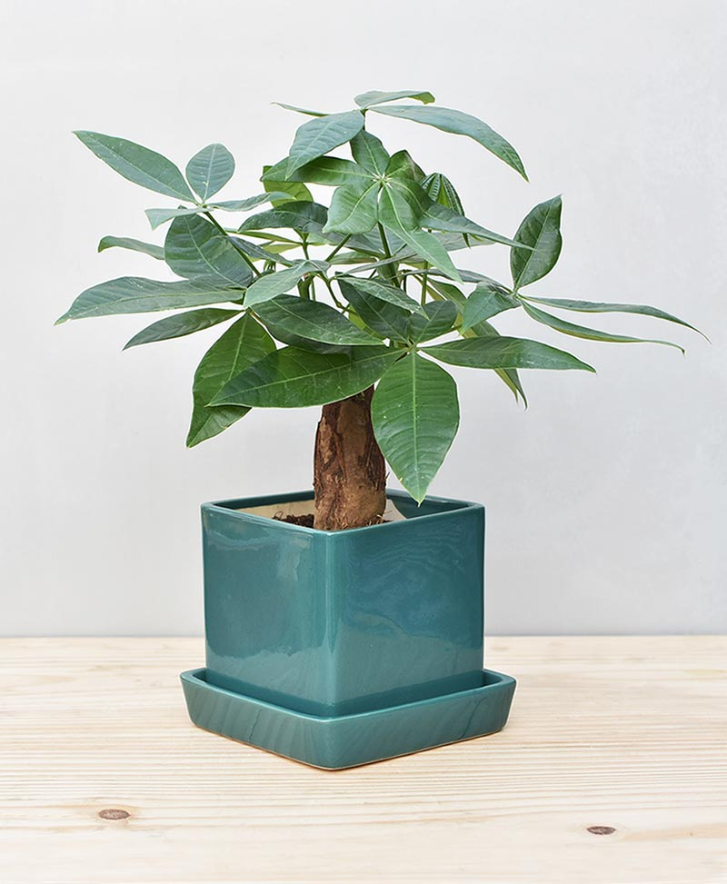 Ceramic Cube Pot Peacock Green with Exotic Money Tree – Pachira Aquatica