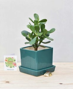 Ceramic Cube Pot Peacock Green with Jade Plant Fatty Leaves