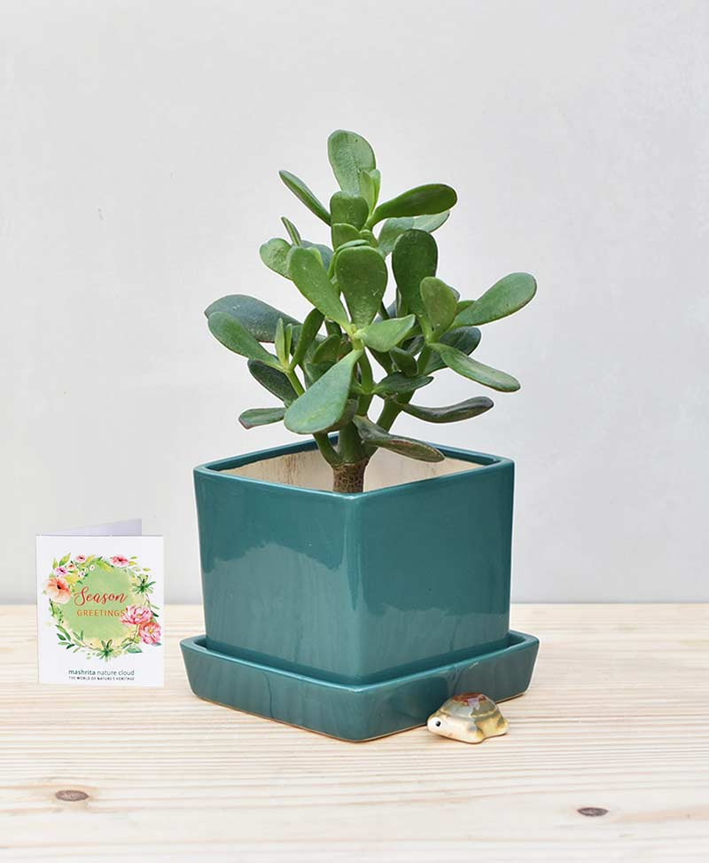 Ceramic Cube Pot Peacock Green with Jade Plant Fatty Leaves – Crassula