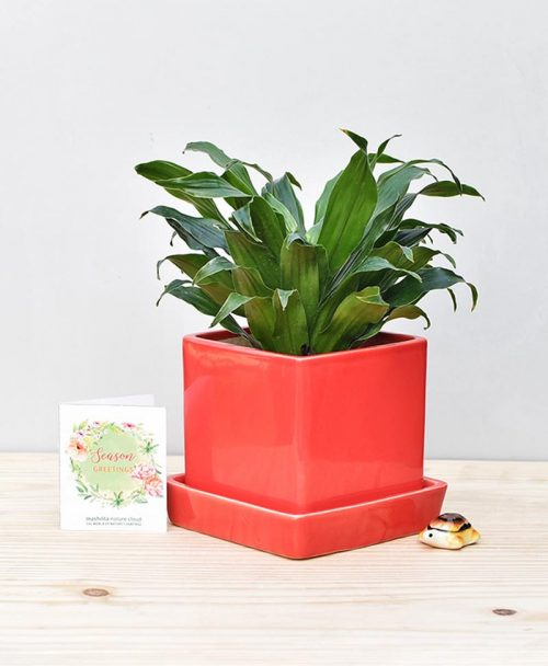 Ceramic Cube Pot Red with Exotic Draceana Compacta