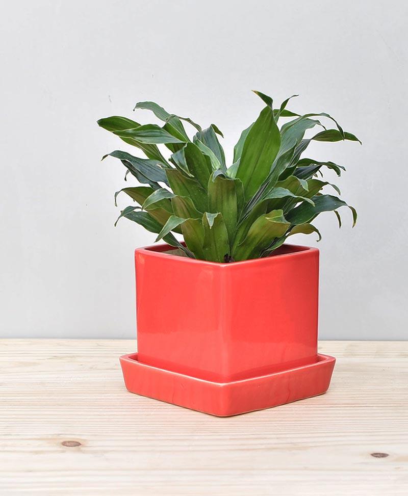 Ceramic Cube Pot Red with Exotic Draceana Compacta