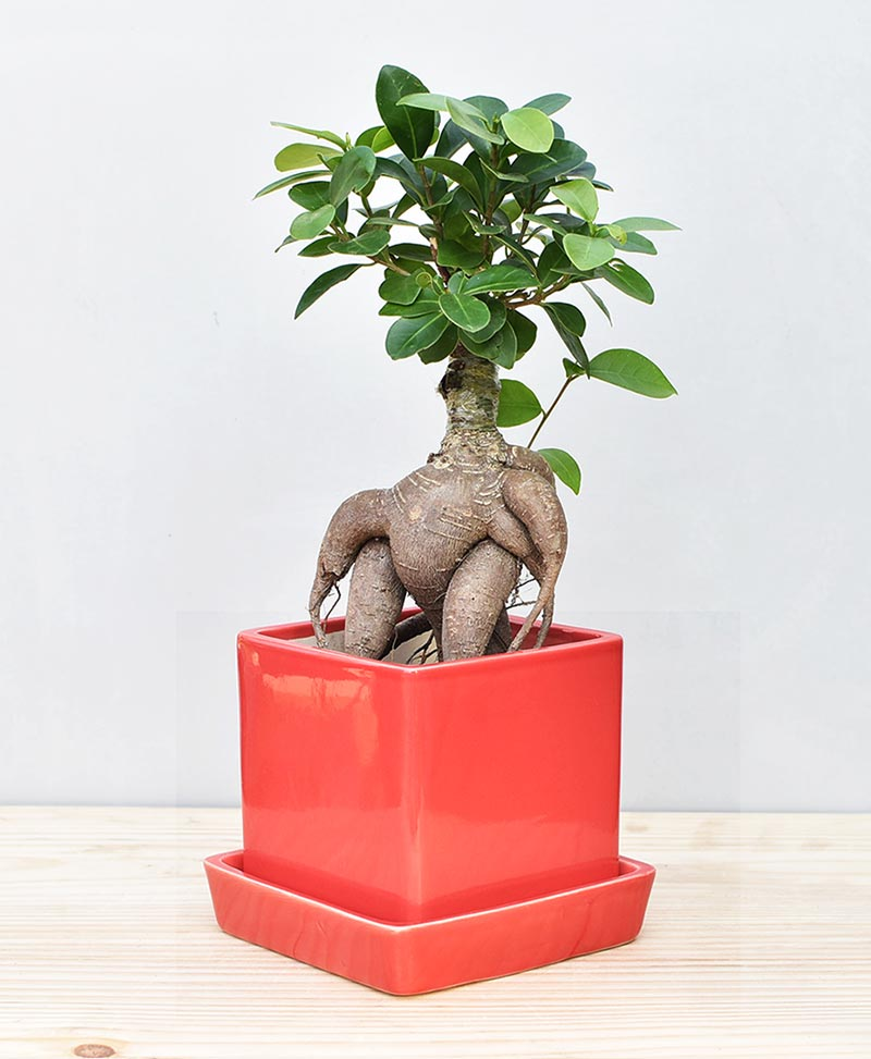 Ceramic Cube Pot Red with Exotic Ficus Ginseng – Ficus Microcarpa