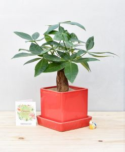 Ceramic Cube Pot Red with Exotic Money Tree – Pachira Aquatica