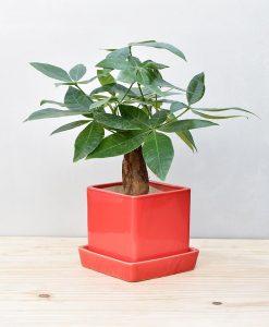 Ceramic Cube Pot Red with Exotic Money Tree – Pachira Aquatica 2