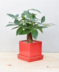 Ceramic Cube Pot Red with Exotic Money Tree – Pachira Aquatica 2