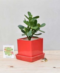 Ceramic Cube Pot Red with Jade Plant Fatty Leaves