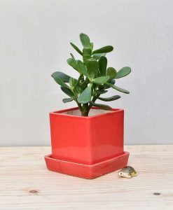 Ceramic Cube Pot Red with Jade Plant Fatty Leaves 2