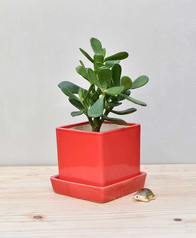 Ceramic Cube Pot Red with Jade Plant Fatty Leaves – Crassula
