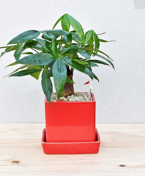 Ceramic Cube Pot Red with Pachira Aquatica Bonsai 1