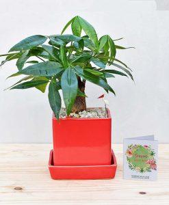 Ceramic Cube Pot Red with Pachira Aquatica Bonsai 2