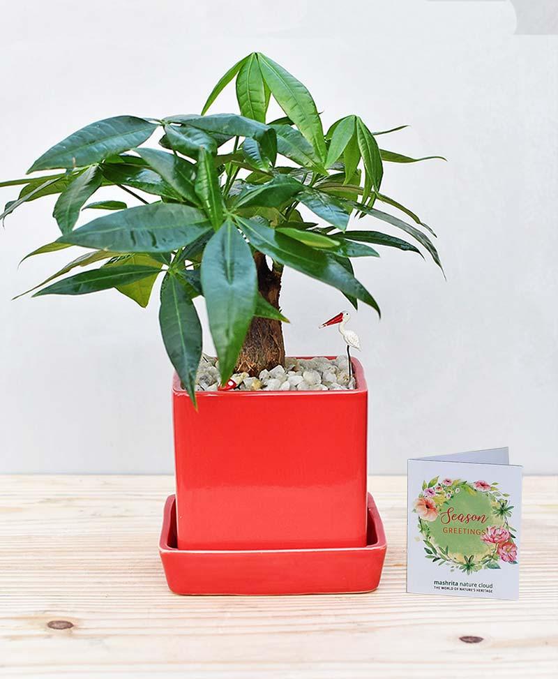 Ceramic Cube Pot Red with Pachira Aquatica Bonsai