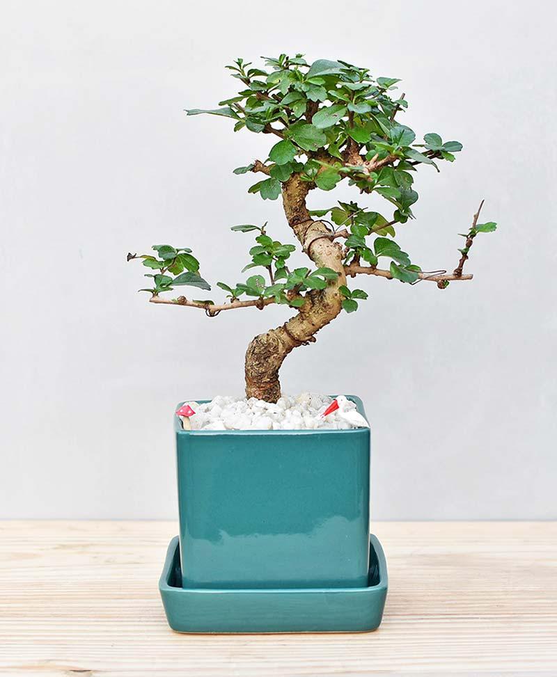 Ceramic Cube Pot Sea Green with Carmona Microphylla Bonsai 1