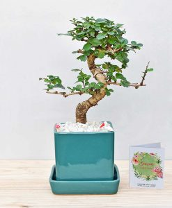 Ceramic Cube Pot Sea Green with Carmona Microphylla Bonsai 2