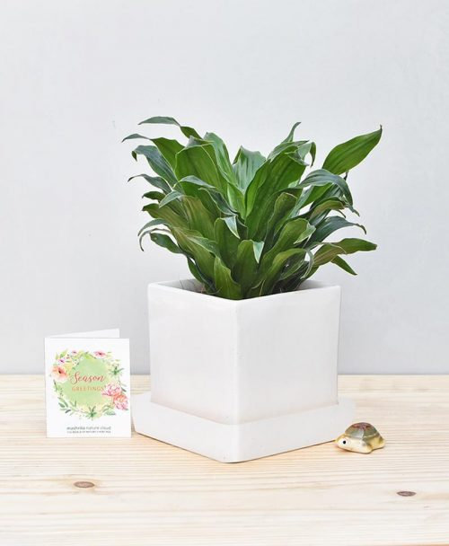 Ceramic Cube Pot White with Exotic Draceana Compacta