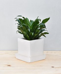 Ceramic Cube Pot White with Exotic Draceana Compacta 2