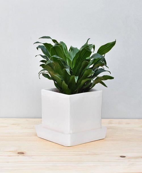 Ceramic Cube Pot White with Exotic Draceana Compacta 2