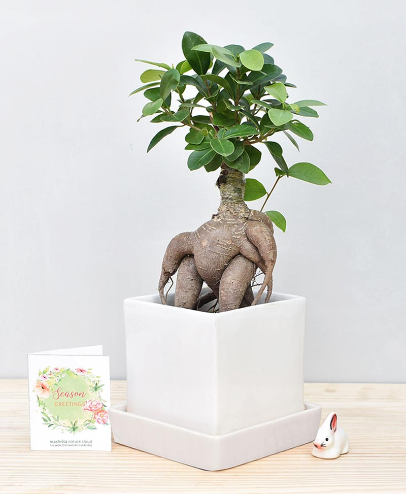 Ceramic Cube Pot White with Exotic Ficus Ginseng – Ficus Microcarpa