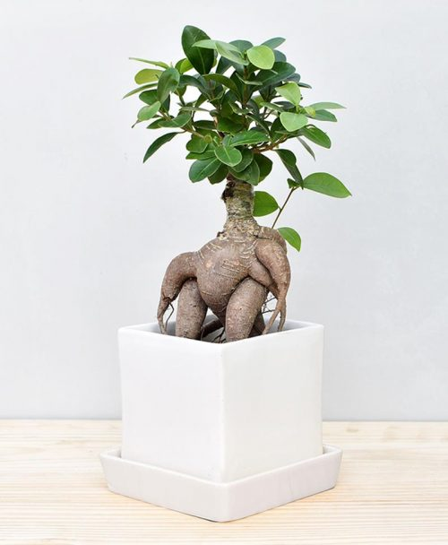 Ceramic Cube Pot White with Exotic Ficus Ginseng – Ficus Microcarpa 2
