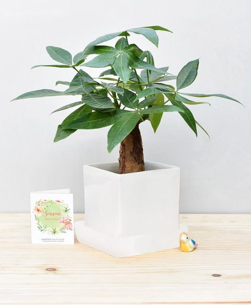 Ceramic Cube Pot White with Exotic Money Tree – Pachira Aquatica