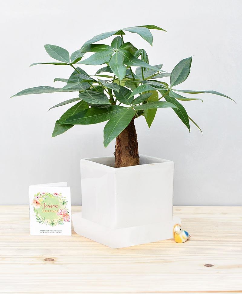 Ceramic Cube Pot White with Exotic Money Tree – Pachira Aquatica