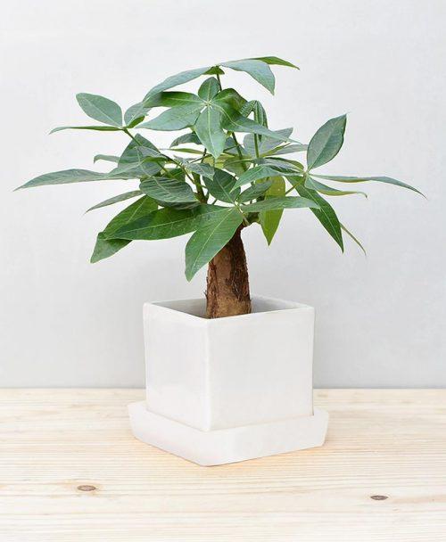 Ceramic Cube Pot White with Exotic Money Tree – Pachira Aquatica 2