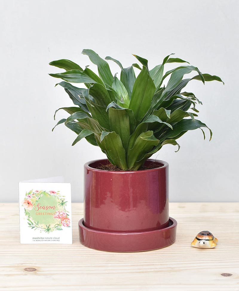 Ceramic Cylindrical Pot Maroon with Exotic Draceana Compacta